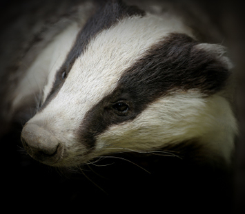 Conservation of Badgers